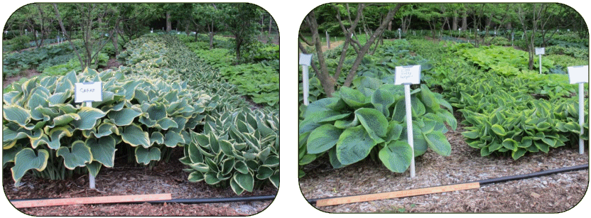 Dig your own hostas